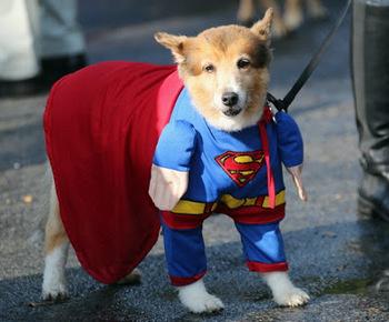 Halloween Superman Dog.jpg